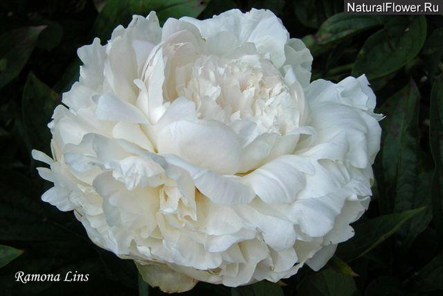 Paeonia энциклопедия цветов: пионы, описание, фотографии.