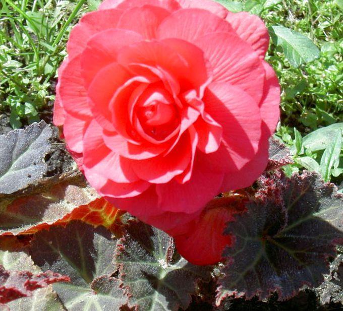 Бегония махровая розовая уход выращивание 26