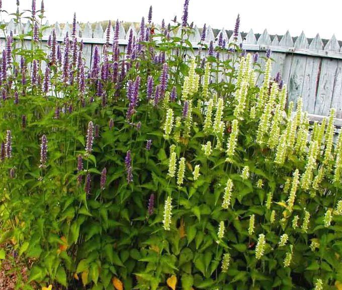 Лофант выращивание из семян