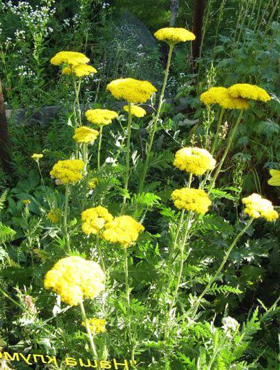 Садовые цветы. Цветоводство.