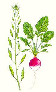 Овощи, овощные растения