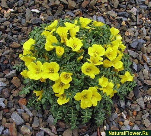 Какие цветы растут на каменистой почве
